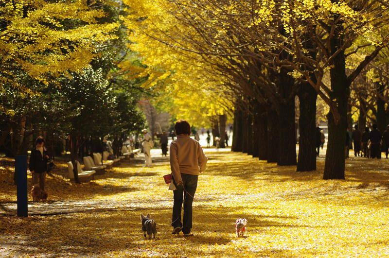 Tokyo-Gaien-銀杏並木