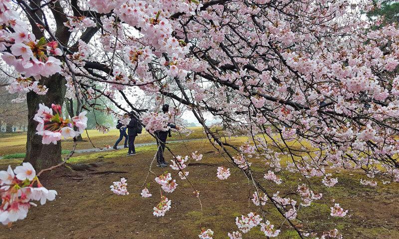 Sakura tree in full bloom
