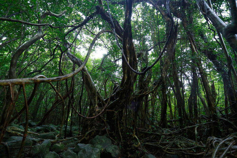 Gajumaru Tree in Yakushima