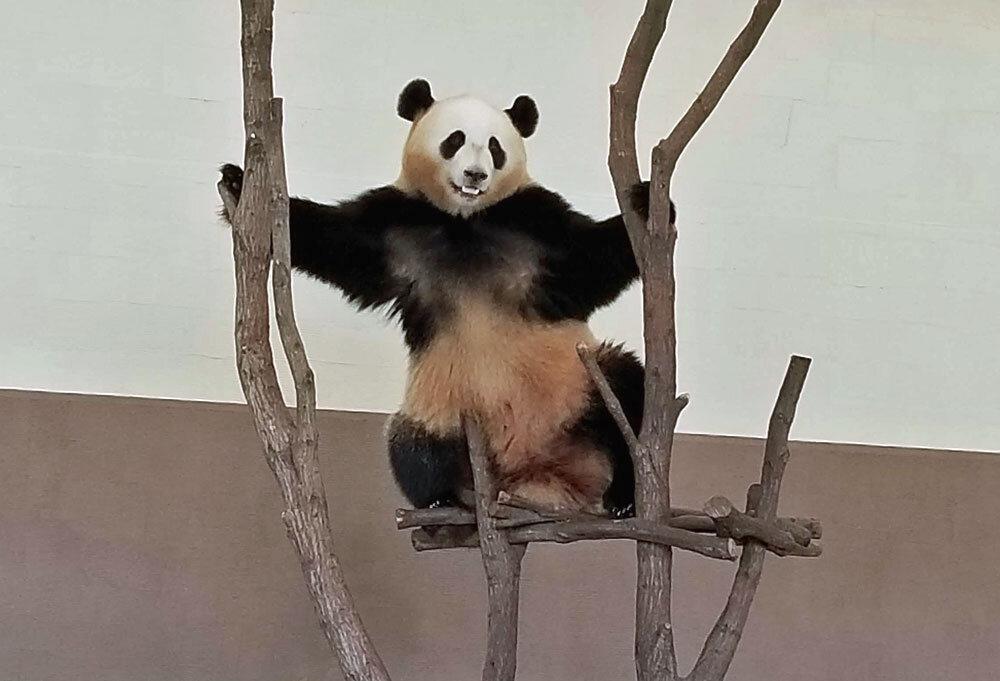 panda at Shirahama Adventure World