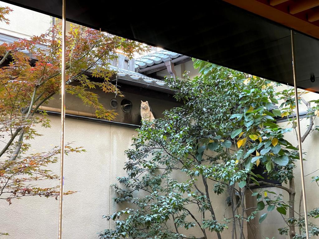 Kyoto's Cat in a yard of Hiiragiya